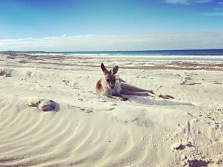 Kangaroo on beach at Bribie Island near Riverbank