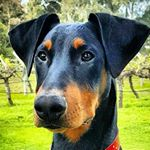 Felix the Doberman